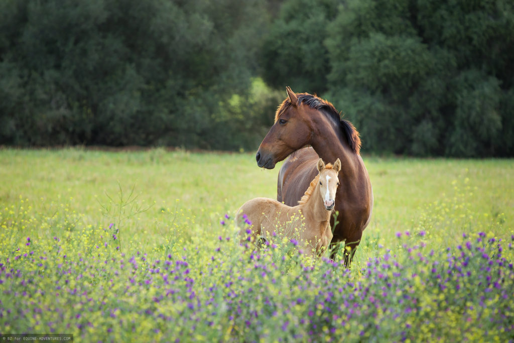 fotoreise-andalusien-stute-fohlen