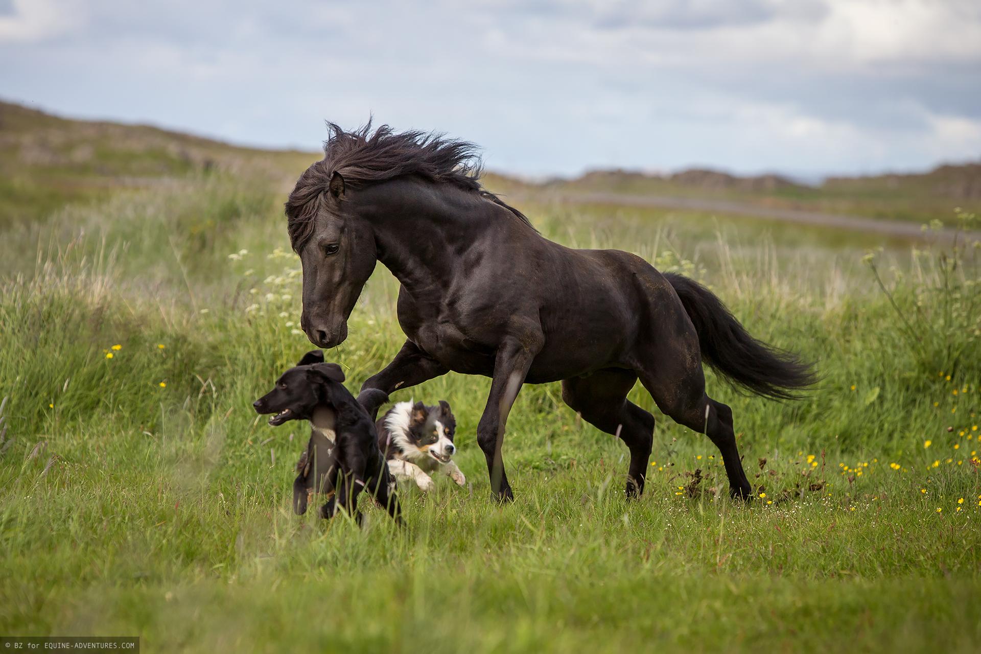 ea-fotoreise-island-hengst-hunde