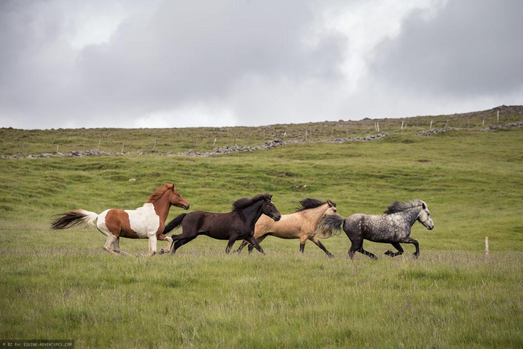 ea-fotoreise-island-herde-galopp
