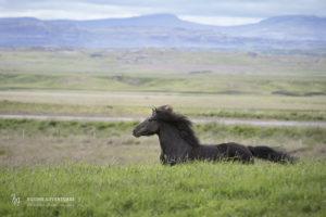 fotoreise-island-lundar-hengste-006