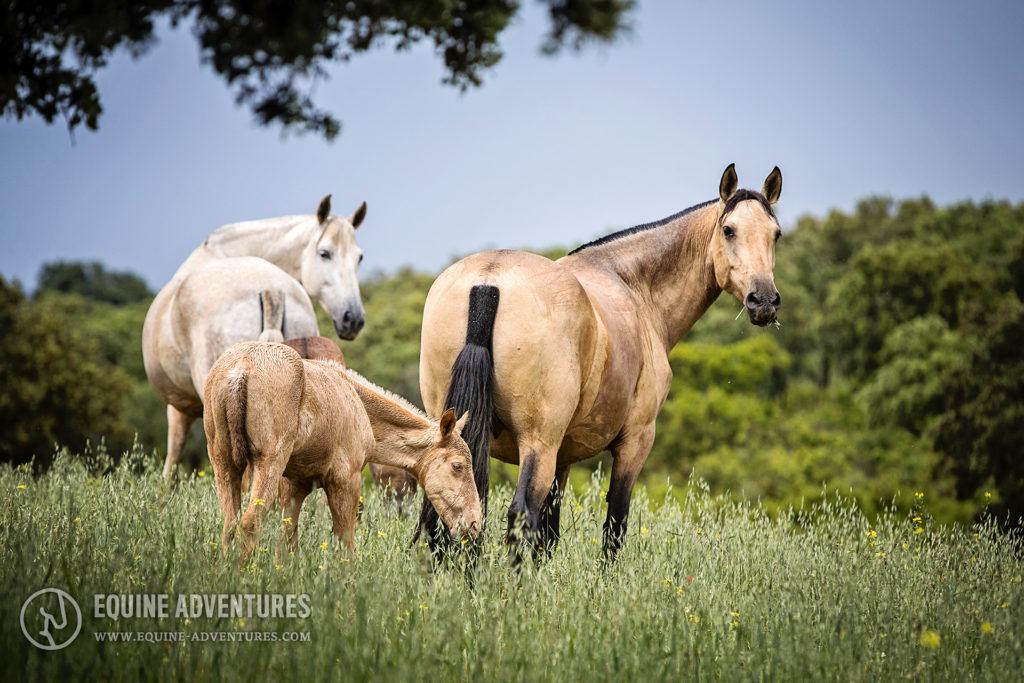 Wachsame Mutterstuten | #Fotoreise #Andalusien #Pferdefotografie